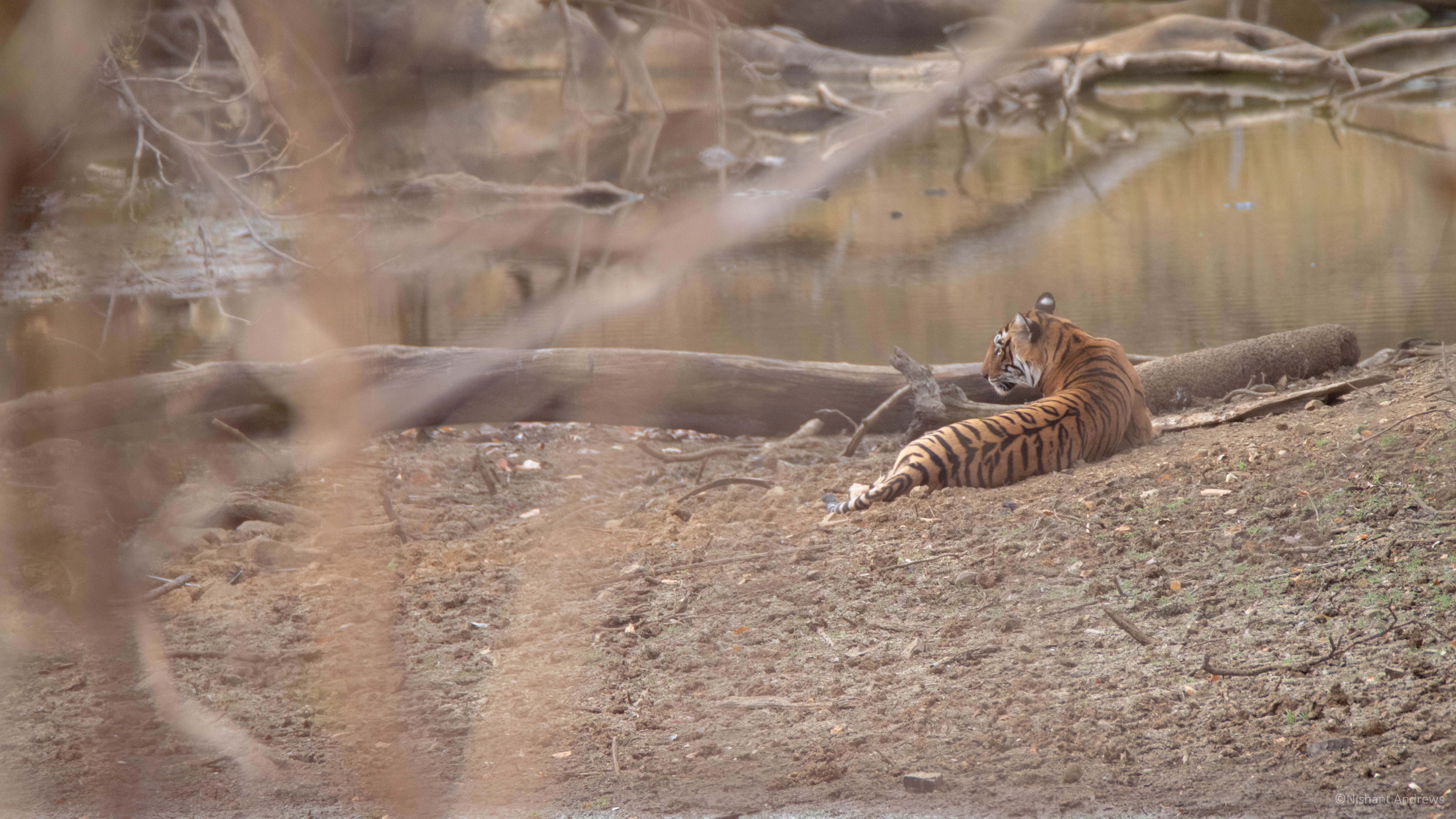 Bengal tiger in forests of Rajasthan