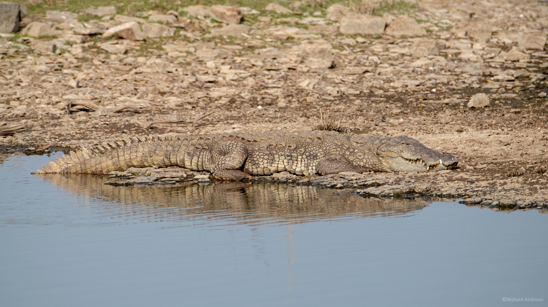 Mugger crocodile, Rajasthan