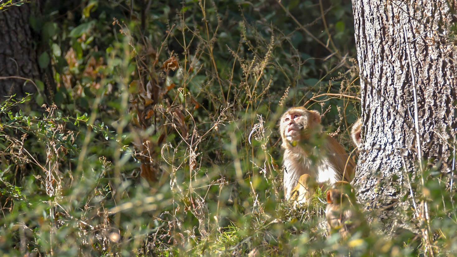 Rhesus macaques, Himachal Pradesh