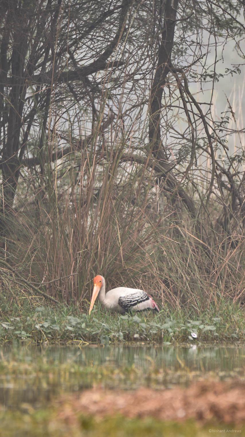 Painted Stork, Sultanpur Bird Sanct.