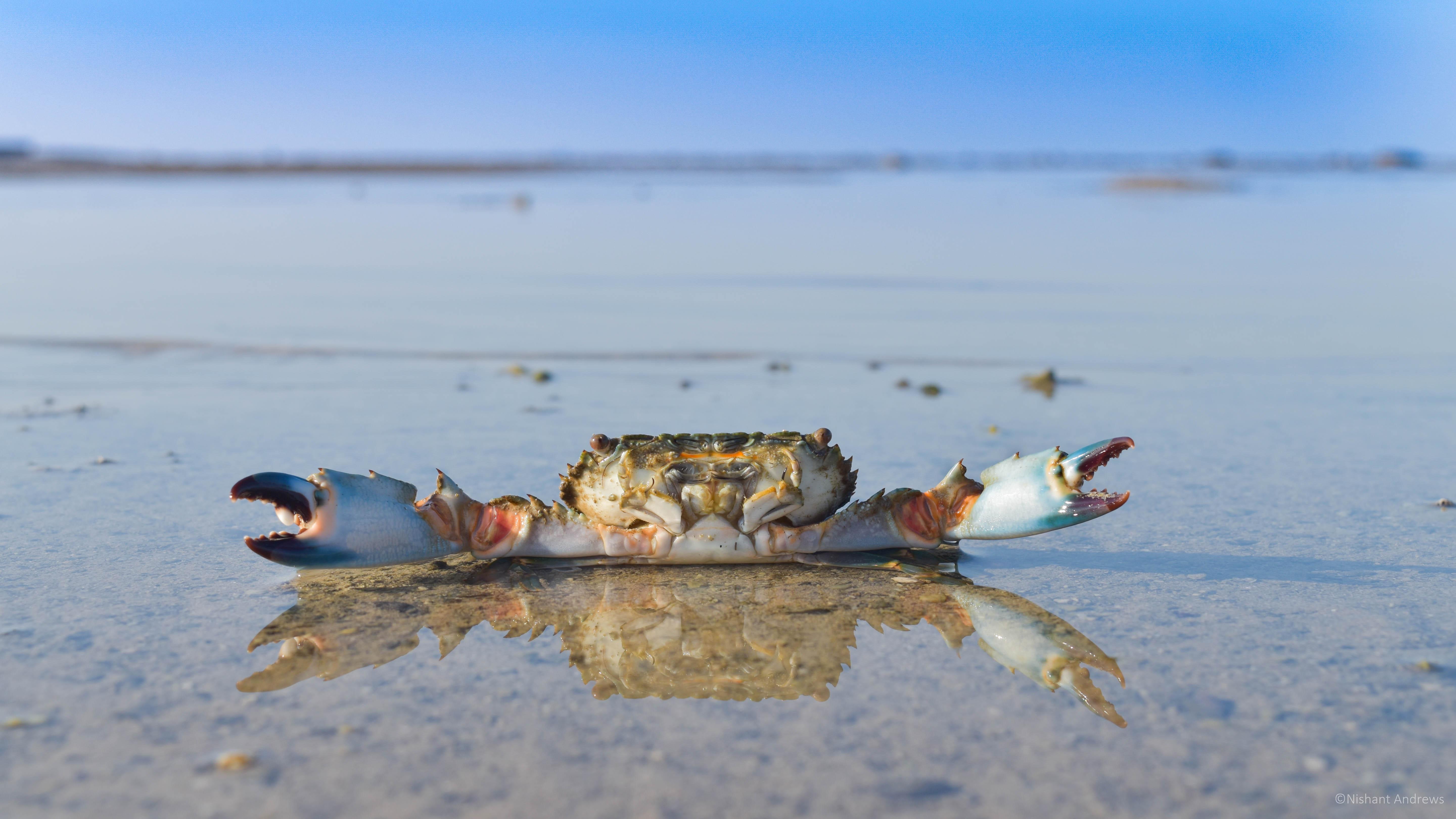 Neptune crab at Marine National Park