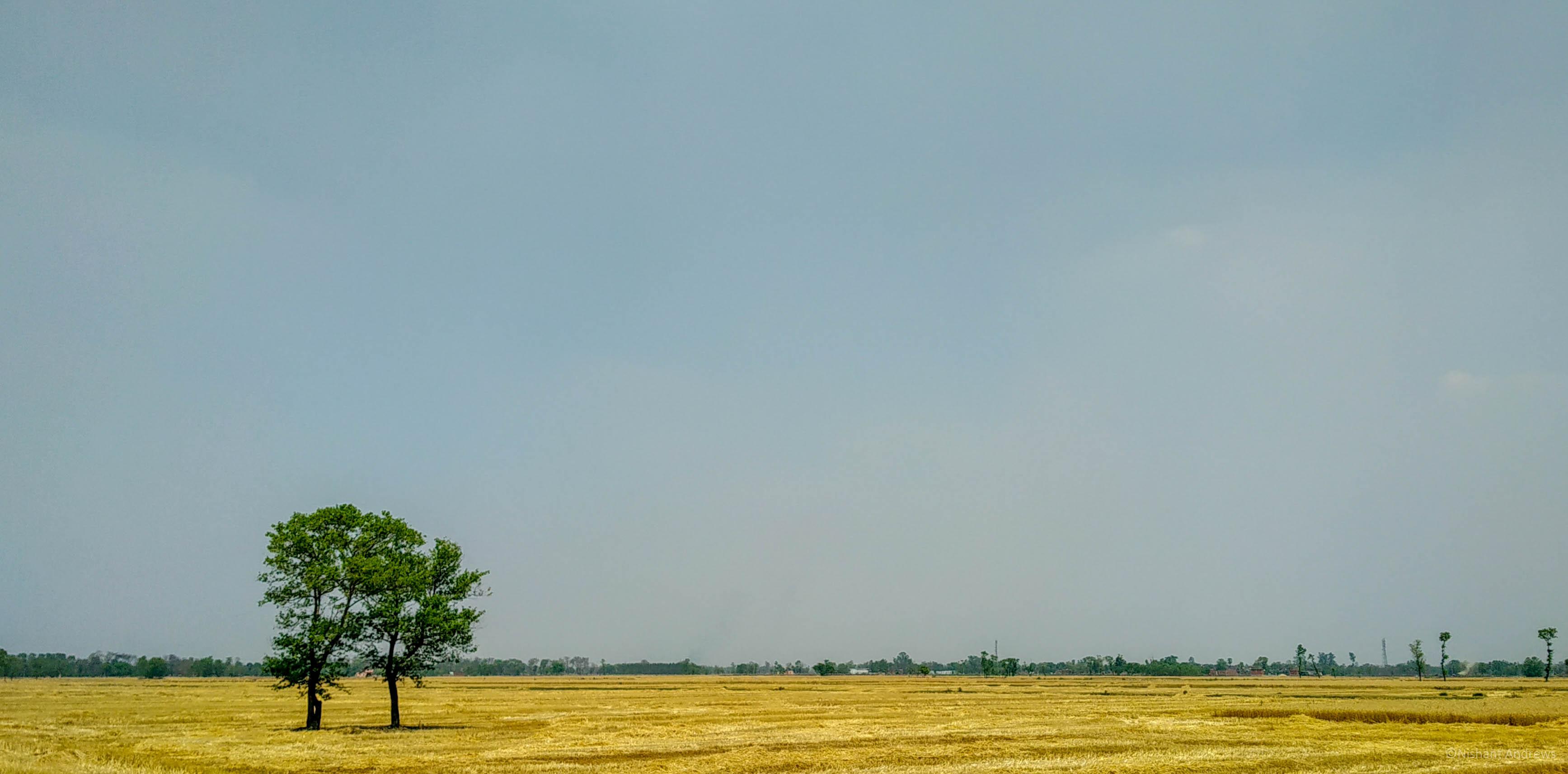 Wheat farms of Bihar