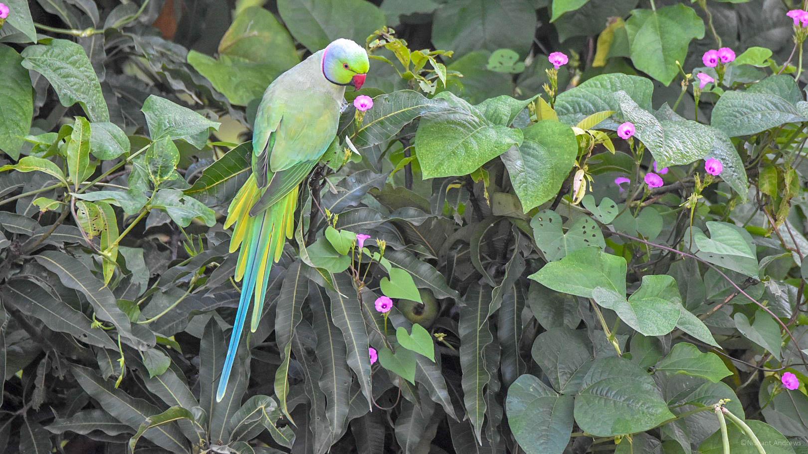 Rose ringed parakeet, Dehradun