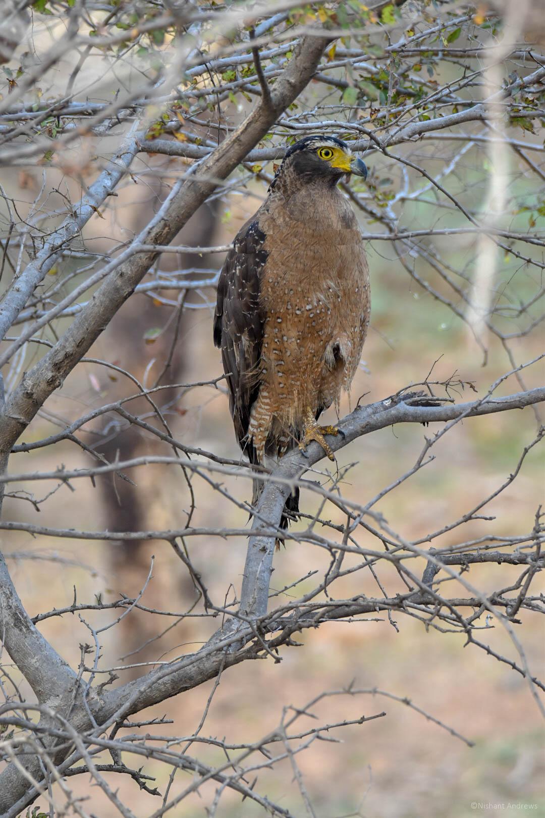 Crested serpent eagle, Rajasthan