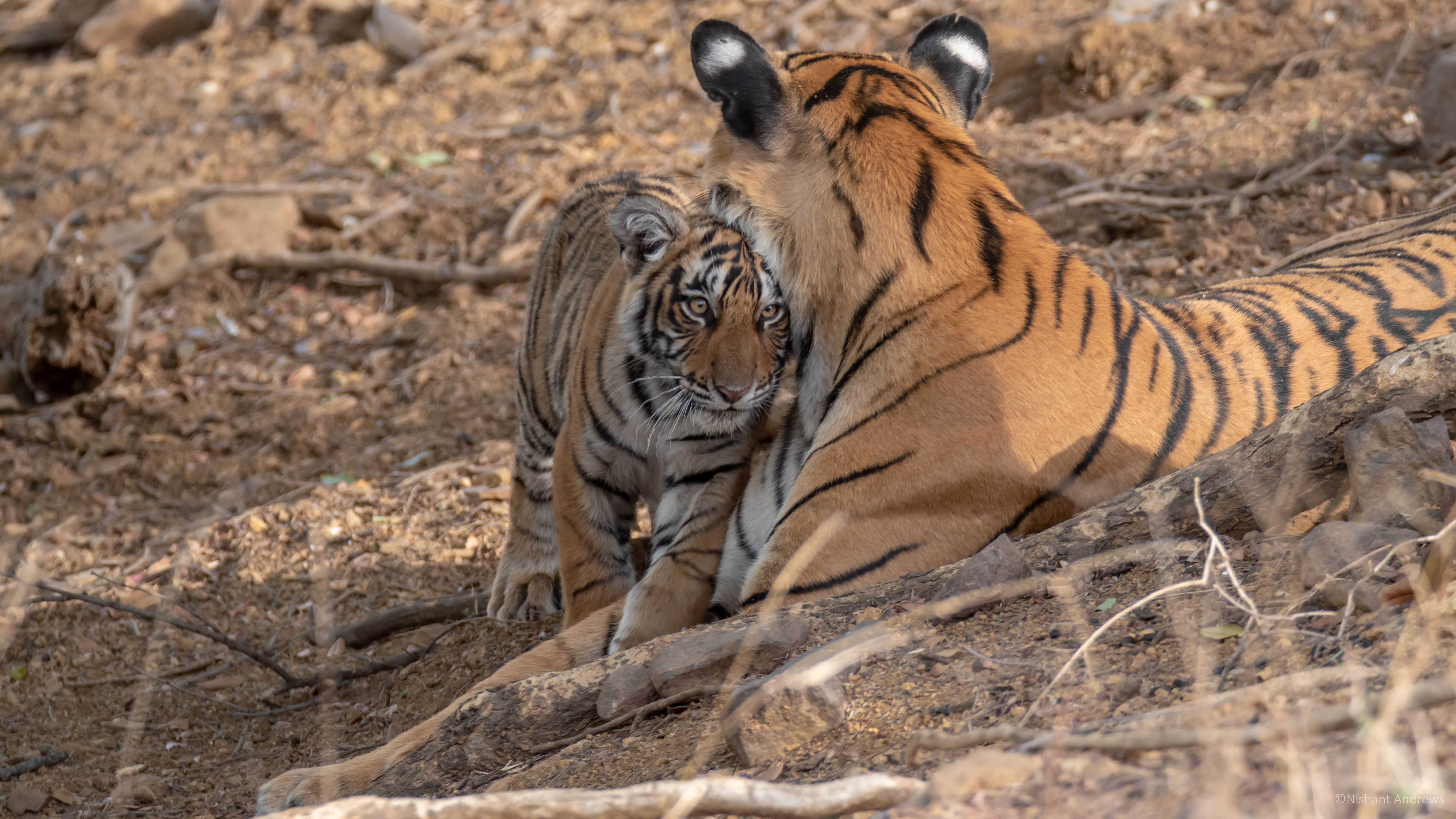 Bengal tiger (female) with cub