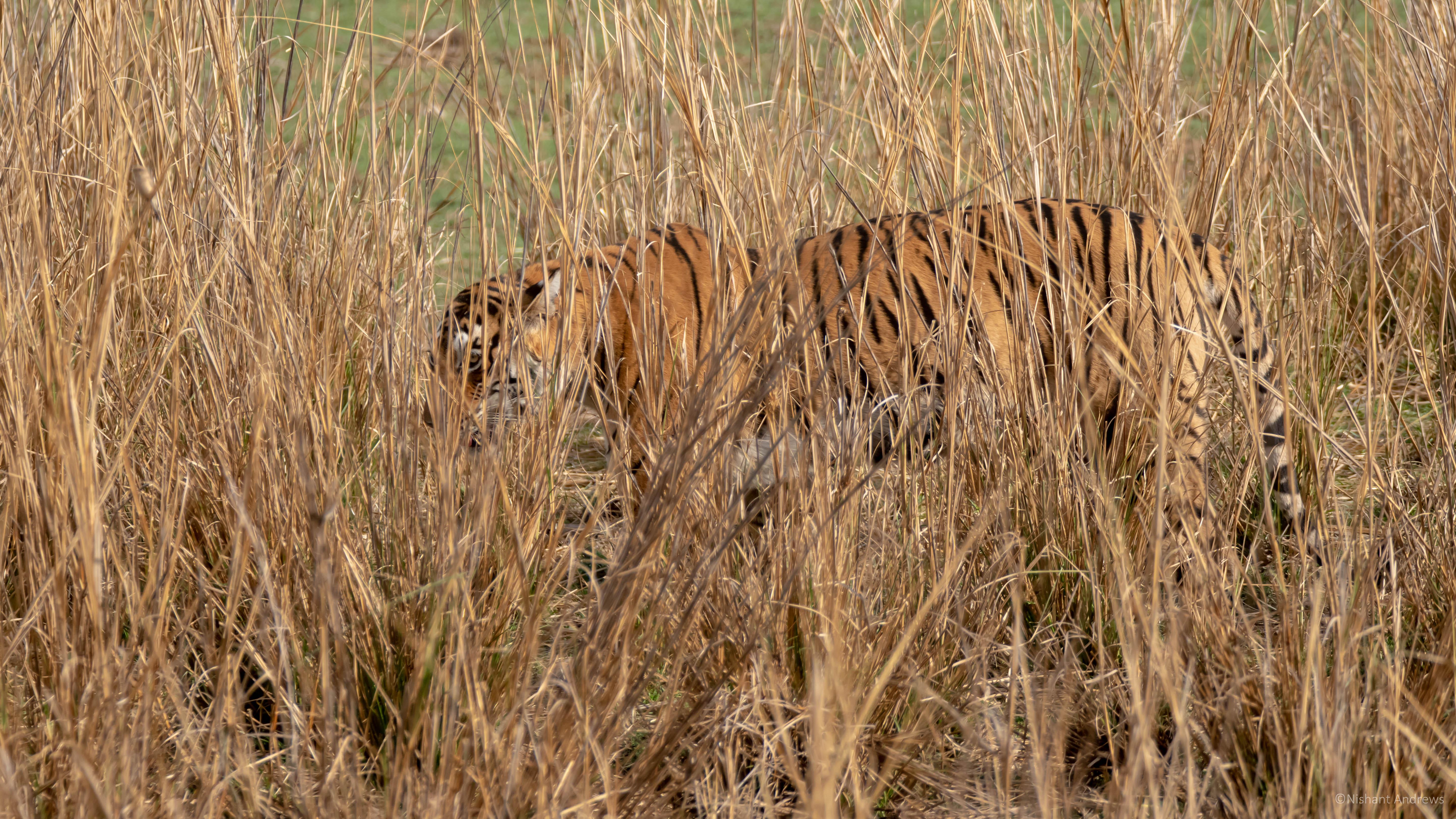 Bengal tiger (female) in hiding
