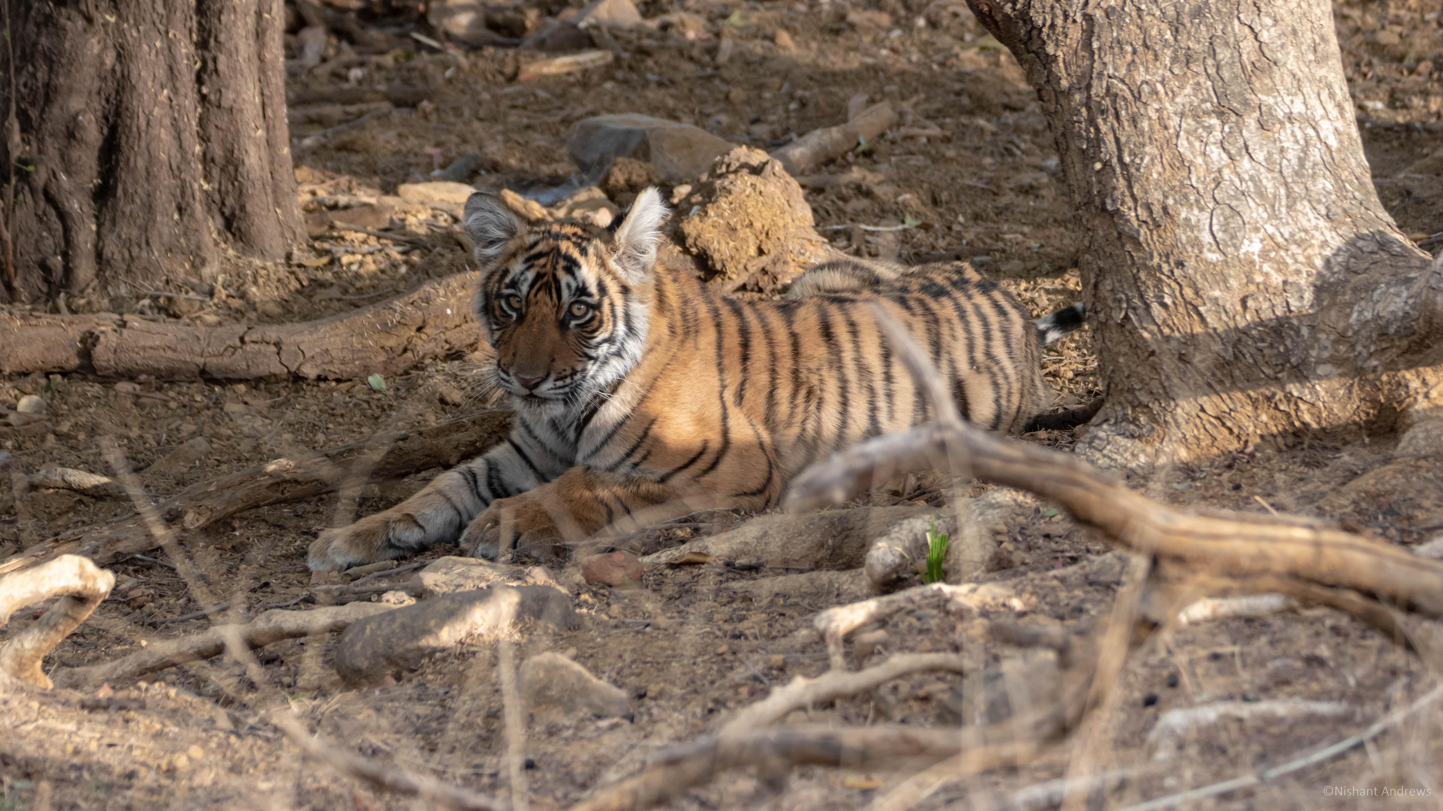 Bengal tiger cub, Rajasthan