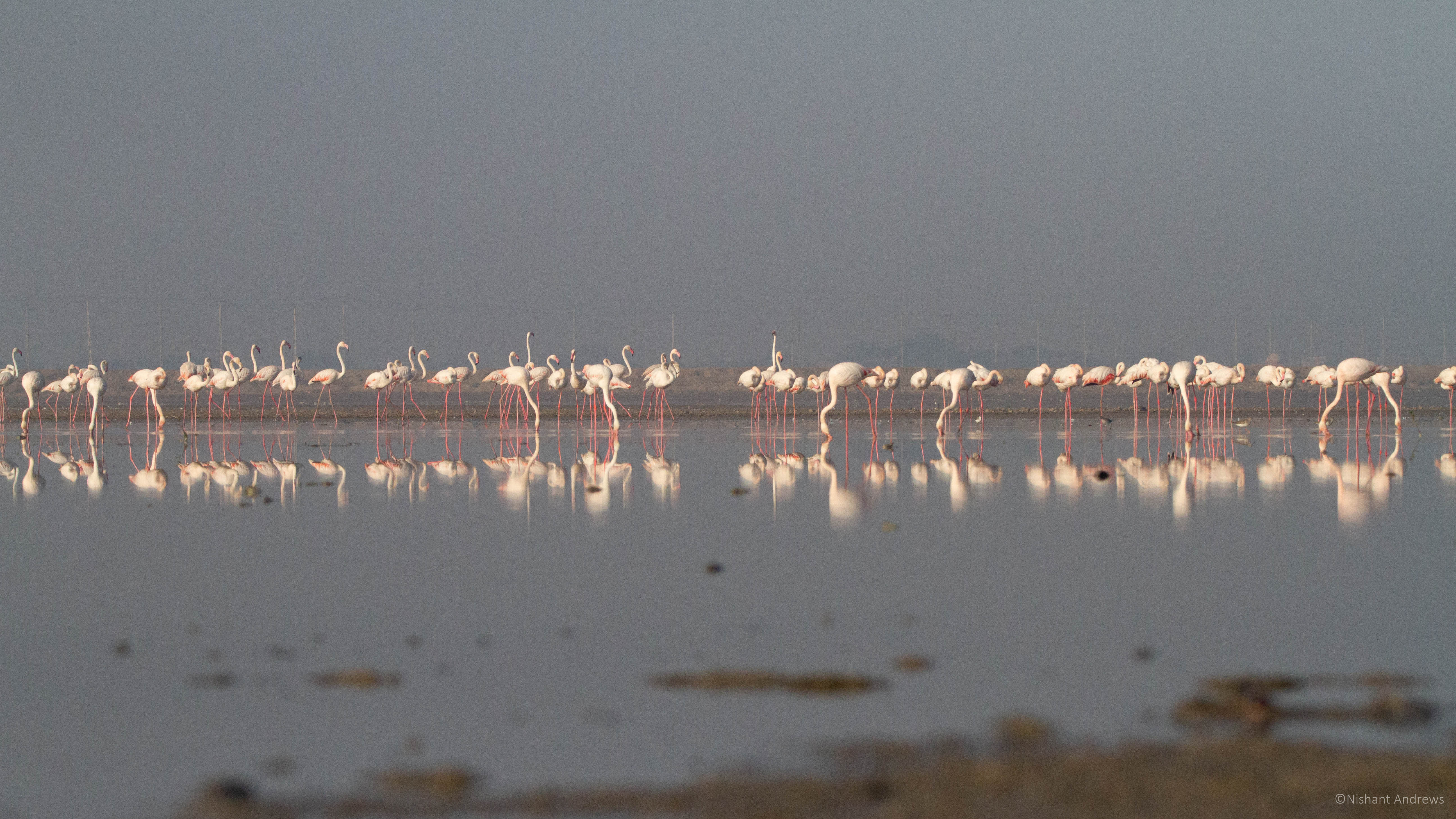 Flock of Greater flamingos, Gujarat