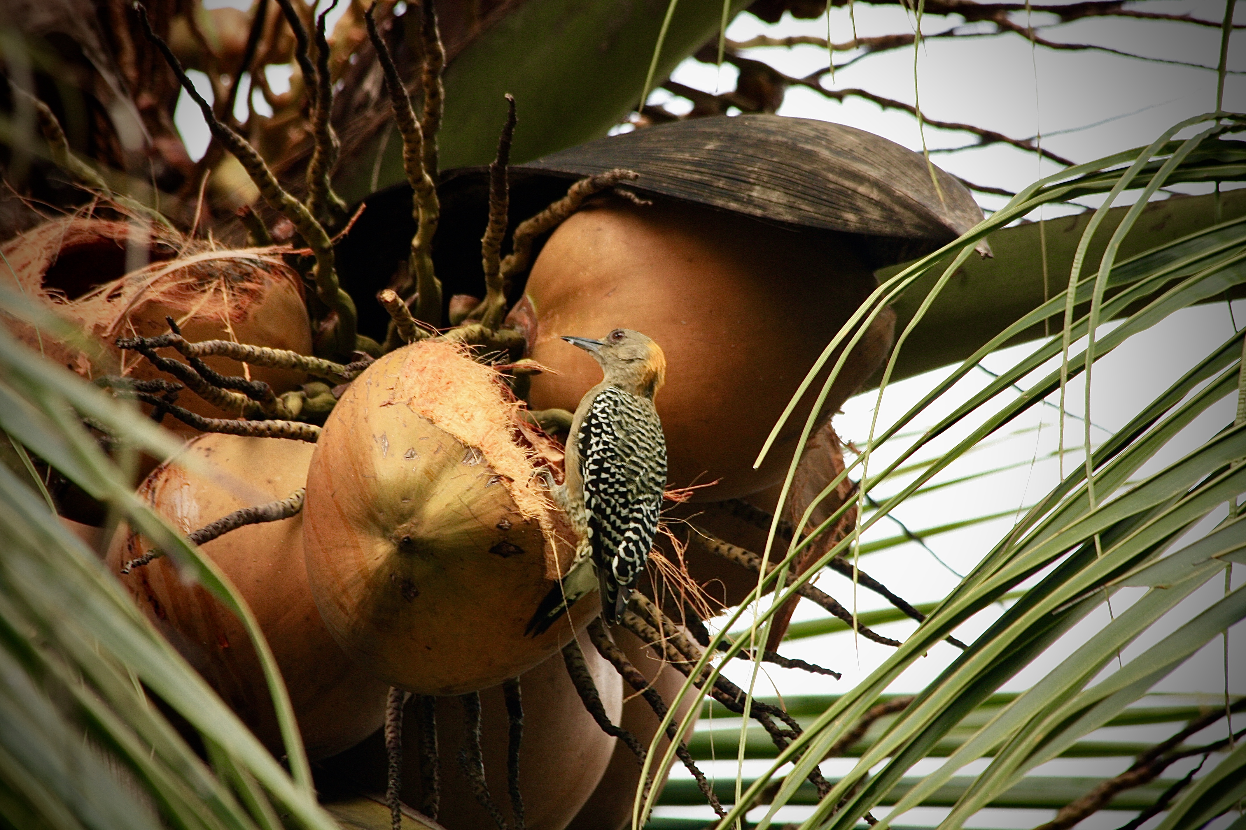 bird eating coconut