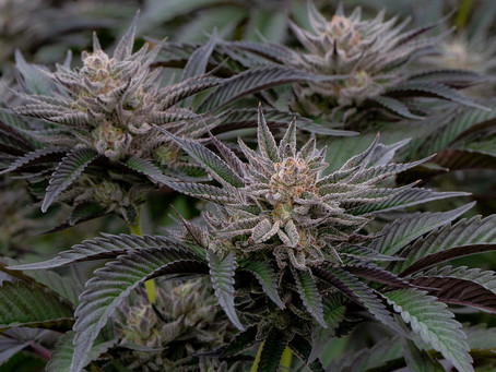 Indica, Sativa or Hybrid?  How to select the best strain for you.