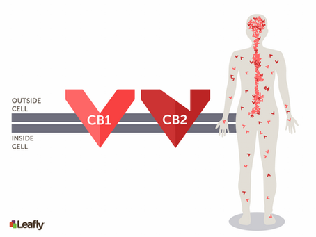 How does THC and CBD effect my body?