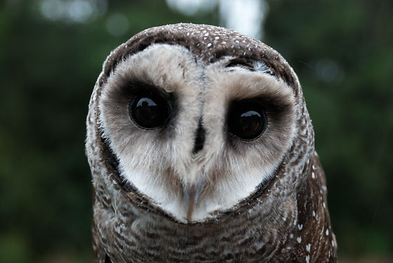 owl higher qual.jpg