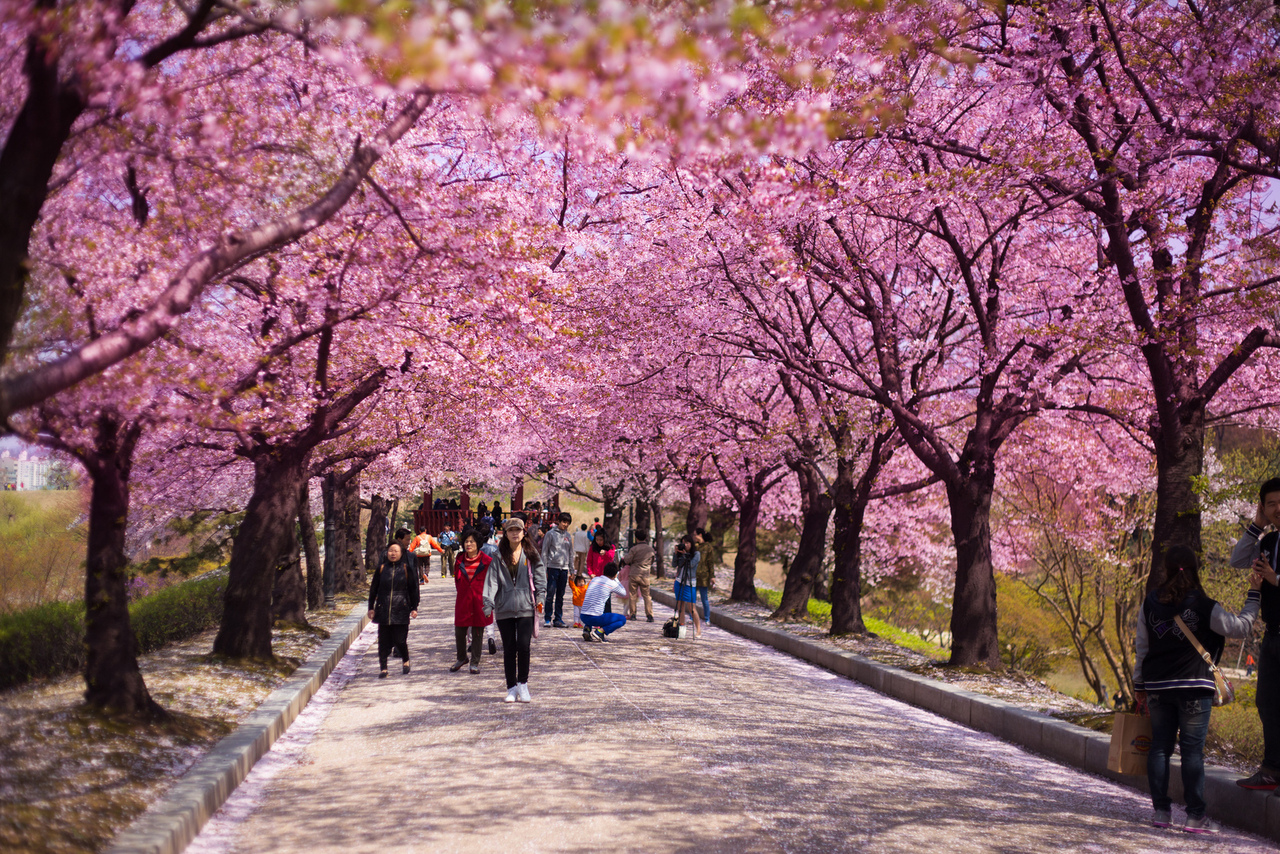 Cherry blossom Seoul attractions