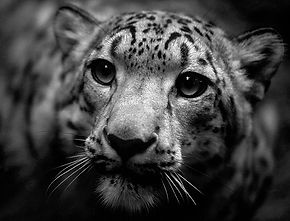 Lindel Caine Designs Visual Art Illustration Photography Snow Leopard Nepal Himalayas