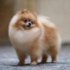 Dog show champion Pomeranian portrait do