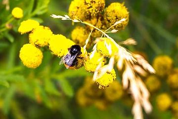 bumblebee-1599130__340.jpg