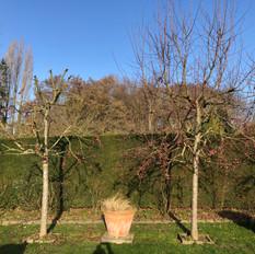 Baumschnitt Zierapfel 2.jpeg