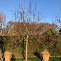 Baumschnitt Zierapfel 1.jpeg