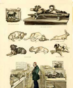 Pasteur initially believed that a vaccine had to be live in order to confer immunity. The method he claimed to have used to treat rabies in test subject Joseph Meister was based on his previous research in rabid dogs and rabbits (like the ones Pasteur is shown examining in this panel from Harper's Weekly, 1884). This method involved passaging the virus through animals, then desiccating extracted spinal cord tissue for increasing lengths of time in an attempt to reduce its virulence. Meister received a series of injections apparently going from the least to the most virulent spinal cord. But Pasteur's lab notebooks, released in the 1970s, suggest the concoction may instead have been developed with different methods not yet fully tested in dogs. COURTESY OF THE US NATIONAL LIBRARY OF MEDICINE
