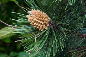 iJuice Red Pine Needle Oil - A Super Food