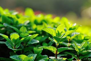 Amazing HealthBenefits of iJuice Peppermint Tea