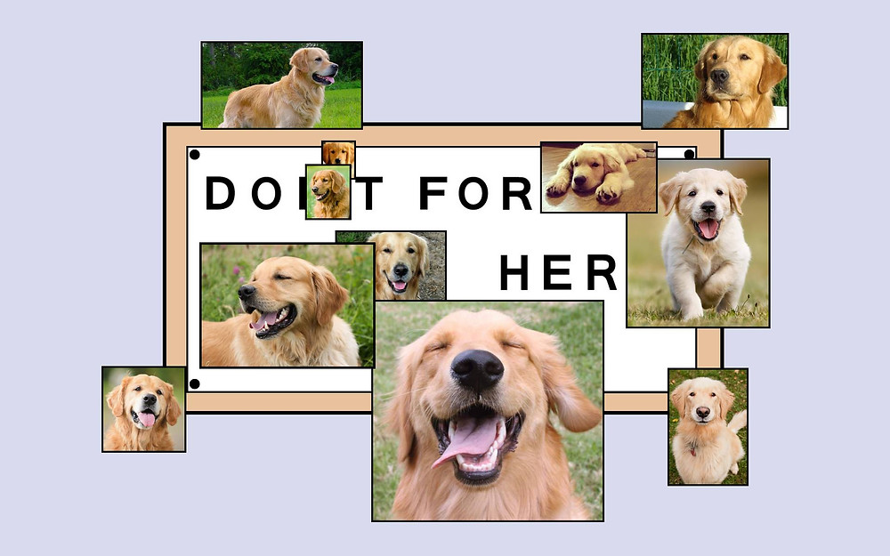 "A version of the Homer Simpson Meme with the cartoon sign reading, ""Do it for her"" but instead of pictures of Lisa Simpson, it's covered with photos of different golden labs of varying ages."