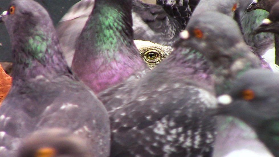 Iguana And Pigeons.jpg