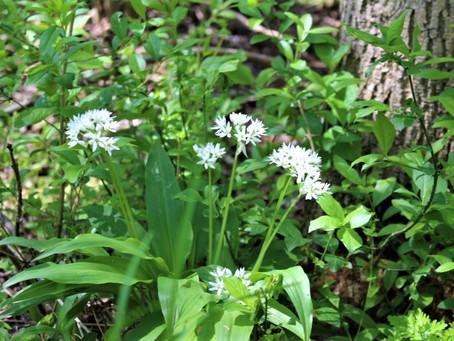 Bärlauch (Allium ursinum) - Frühlingskraut