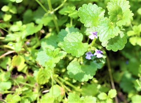 Gundelrebe/Gundermann (Glechoma hederacea) - Frühlingskraut