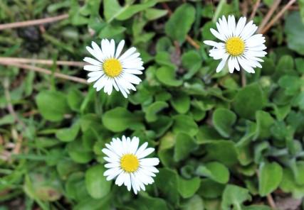 Gänseblümchen (Bellis perennis) - Frühlingskraut