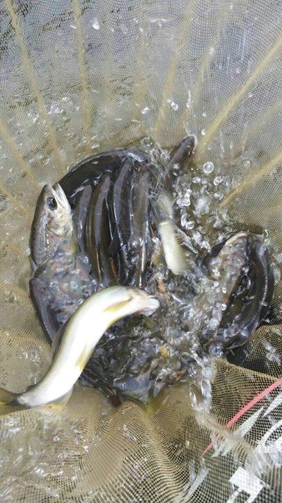 渓流魚たち