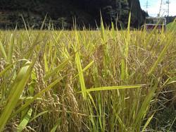 自家栽培のお米