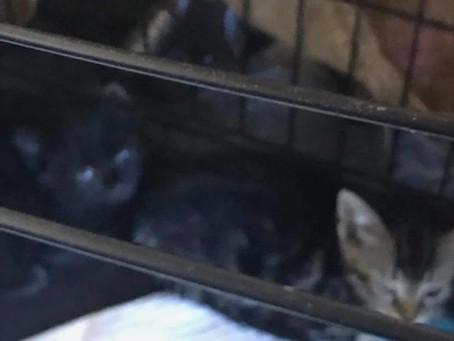 Kittens need immediate foster