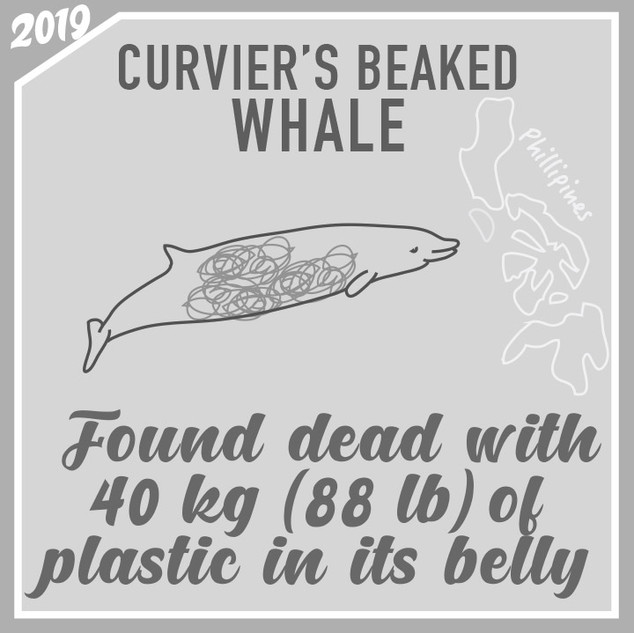 Whale-found-dead-with-40-kg-plastic-in-t