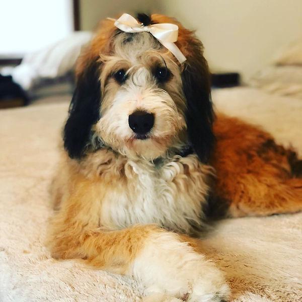 fey red sabel puppy.jpg
