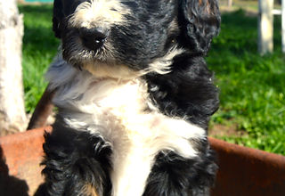 Tri Red Sable Bernedoodle Poodle Puppies