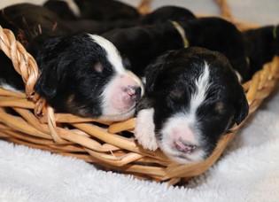 pupies basket 1.jpg