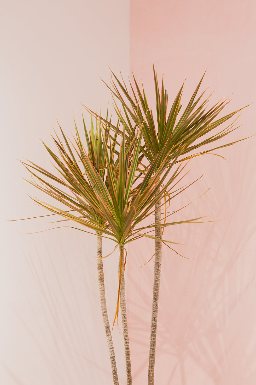House plant wth pink background