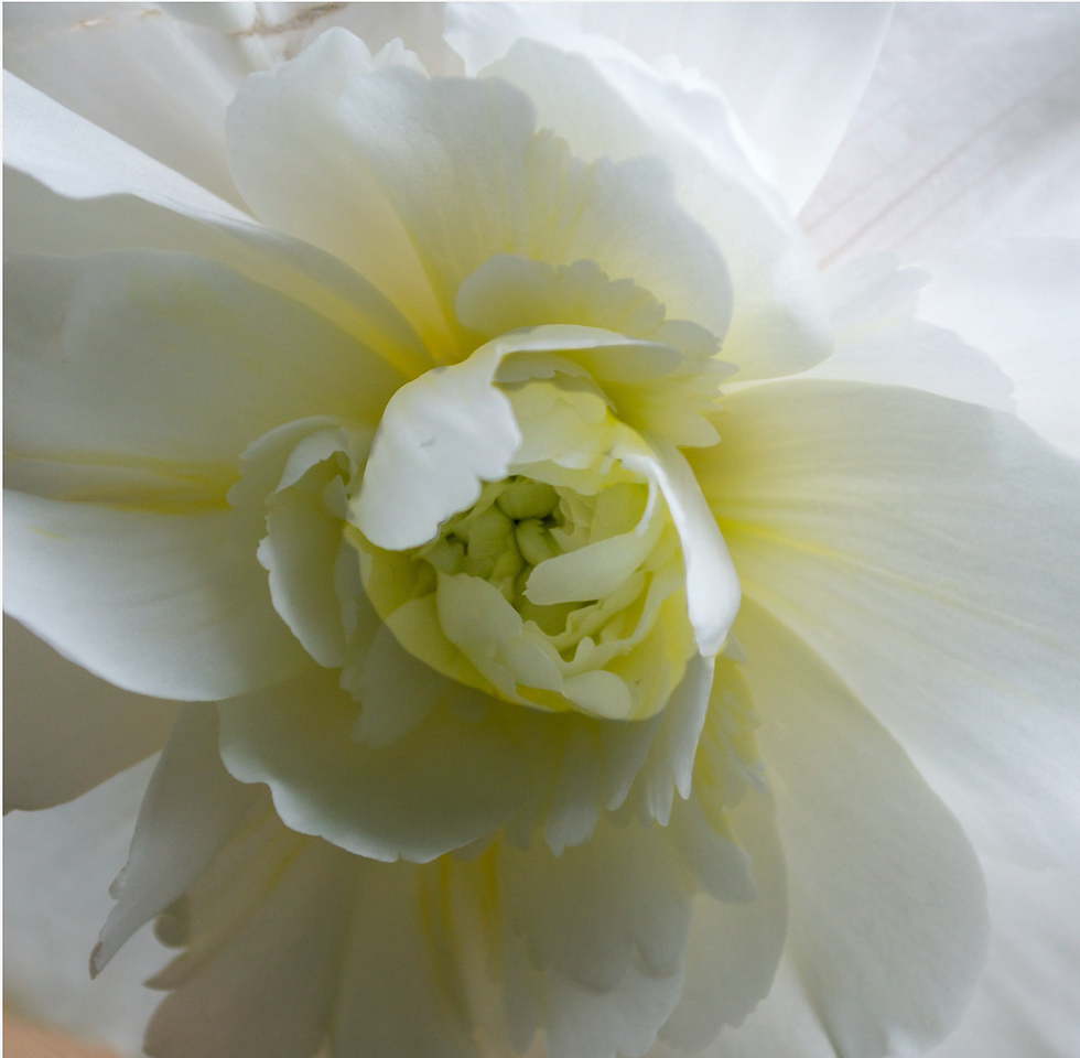 white begonia Karen Ussery Photography