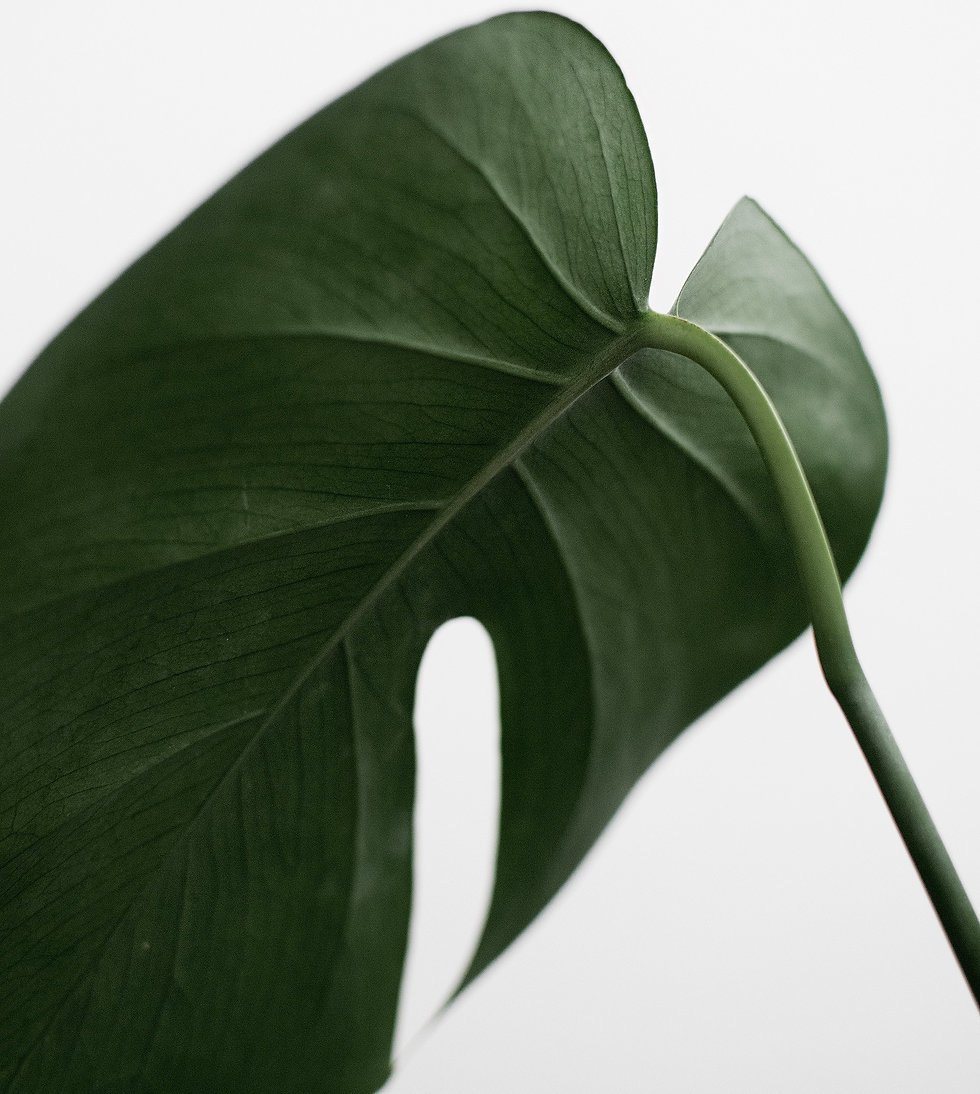 Large plant leaf