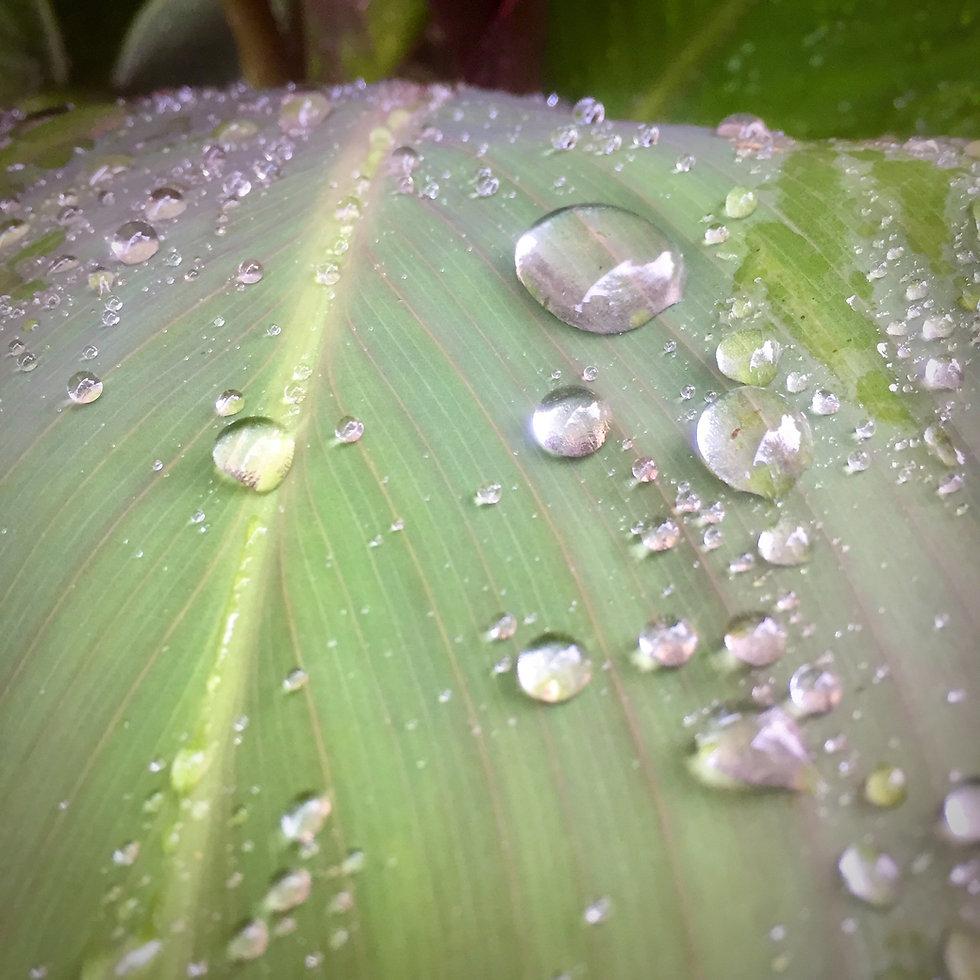 Rainy Canna Leaf Karen Ussery Photography