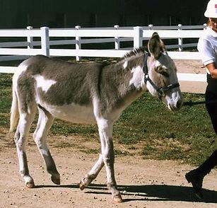 Standard-Donkey.jpg