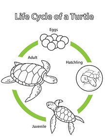 turtle life cycle.jpg