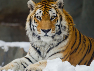 Тигра Амура хотят выселить из сафари-парка