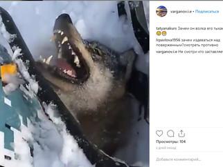 Снегоход наехал на волка