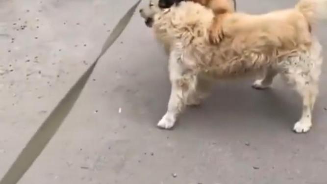 Гуф натравил свою собаку на другую собаку