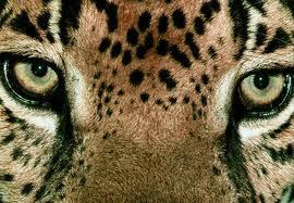 La traque du Jaguar