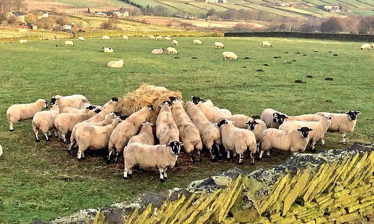 Grit ewes - silage.jpg