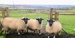 3 Outstanding Harrop Flock Ewes of John