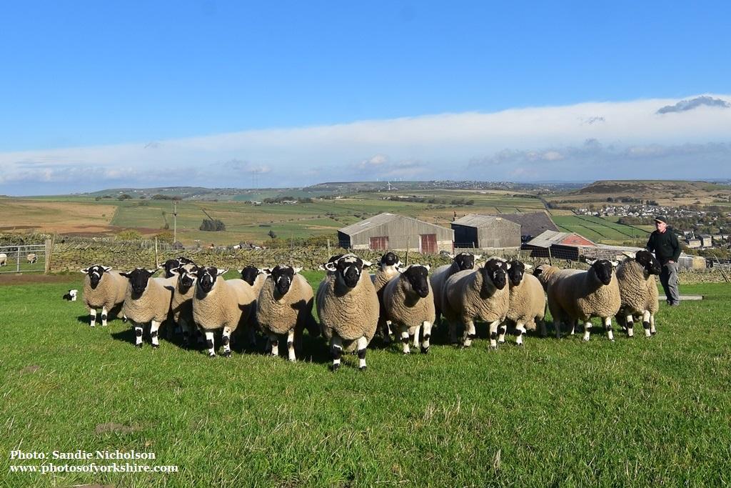 Derbyshire Gritstones tups sold 2018